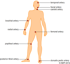 Picture Diagram Of The Human Body Pulse Locations On The Body Diagram Of Pulse Points On The Body