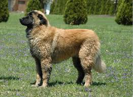 belgian sheepdog club of the rockies saved by dogs estrela mountain dog herding and guarding mastiff