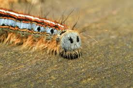 tent caterpillar control and treatments for the yard home and garden