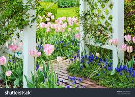pink tulips grape hyacinths spring garden stock photo 389563048