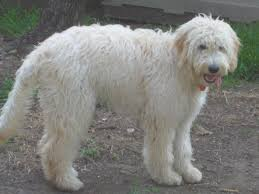 goldendoodle haircuts styles hottest hairstyles 2013 shopiowa us