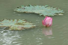 Lotus Flower In Muddy Water - pictures of thailand daily life well known and not known places