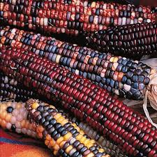 22 best ornamental corn images on fall vegetables and