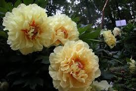 yellow peonies garden treasure yellow intersectional itoh peony cricket
