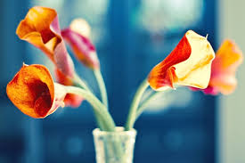 callalily flower calla meaning and symbolism ftd