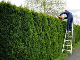 when to trim arborvitae hedge shrubs u2014 farmhouse design and