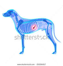 Dog Anatomy Heart Stock Images Similar To Id 253284259 Dog Heart Anatomy Of