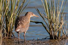 non native plants in california invasive weed removal harms native bird in california the why files