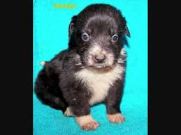 australian shepherd x husky border collie husky mix pups for adoption video by betty sue