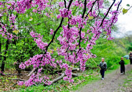 two year project continues to plant the town pink with redbuds