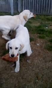 accounting resume exles australian kelpie lab dogs labrador in new south wales gumtree australia free local