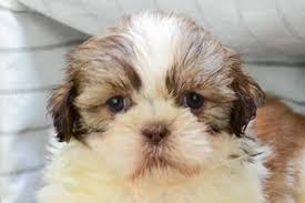 bichon frise shih tzu mix for sale shih tzu puppies for sale in california shih tzu pups for sale in