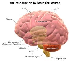 Thalamus Part Of The Brain Structure And Function Of The Brain Boundless Psychology