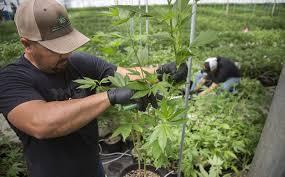 Flowers Salinas - from chrysanthemums to cannabis a u0027green rush u0027 in salinas valley