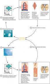 Anatomy Of Human Body Pdf 24 6 Energy And Heat Balance Anatomy And Physiology