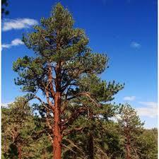 pine trees for sale nature nursery