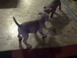 american pitbull terrier gator red nose camalot and blue nose gator mouth bully youtube