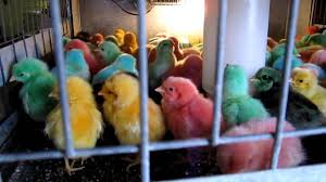colored baby chickens youtube