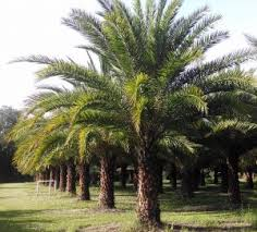 sylvester palm tree price hardy palm tree farm florida palm tree experts