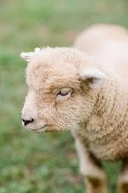 69 best babydoll sheep images on pinterest babydoll sheep lambs