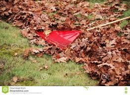 clean the fallen leaves in backyard with rake in autumn season