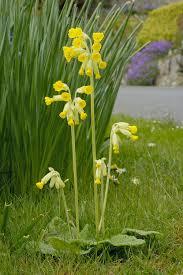 british native plants cowslip native british wildflower plug plants meadow mania