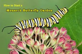 to start a monarch butterfly garden at home