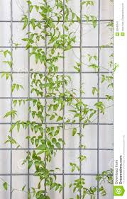 creeper trellis background stock photo image 52645143