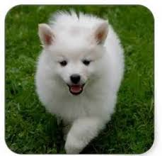 american eskimo dog black 25 best miniature american eskimo dogs images on pinterest