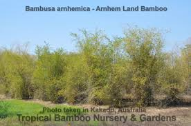bamboo land nursery and parklands tropical bamboo nursery u0026 gardens tropical bamboo plant list