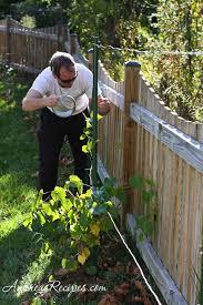 weekend gardening planting grapes u2013 andrea meyers