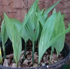 native hawaiian plants for sale polynesian produce stand