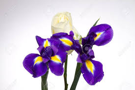 Iris Flag Blue Flag Iris And White Rose Stock Photo Picture And Royalty