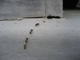 Natural Ant Killer For Kitchen by How To Get Rid Of Ants With Three Ingredients The Happy