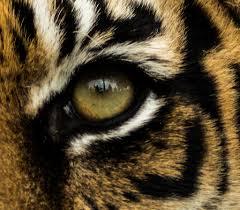 tiger eye christopher allen flickr