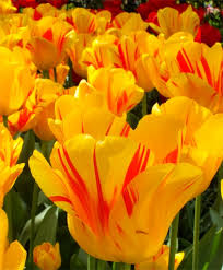 tulip olympic flame giant darwin hybrids tulips flower bulb