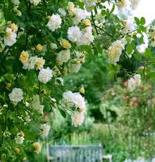 drift roses popcorn drift bush roses gardentodoorstep