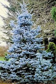 blue spruce trees blue spruce 45 seeds picea tree or bonsai