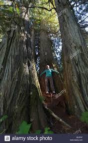 ancient western cedar trees and hiker thuja plicata