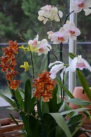 Orchids Care The Orchid Column How Do I Cut My Orchid Spike After Flowering