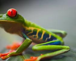 eyed tree frog prints
