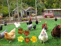 austin backyard chickens the chicken landscape gardening with chickens