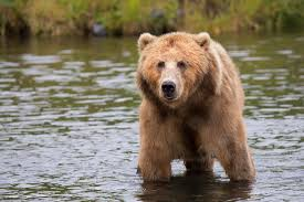 Bears Montana Hunting And Fishing - game and fish holds facebook live on grizzly bear management