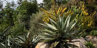 aloe aloe ferox plant facts eden project