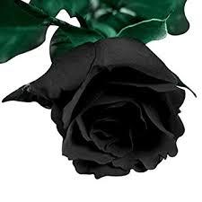 black roses futaba blood black flower seed 100 pcs in garden