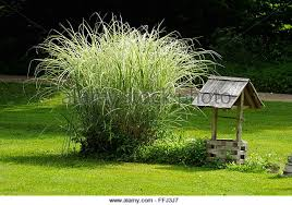 ornamental grass stock photos ornamental grass stock