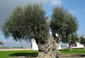 the mystery of the olive tree and spiritual
