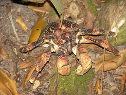 coconut crab wikipedia