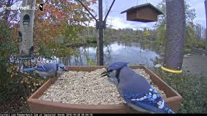 blue jays get their fill at the cornell feeders oct 26 2016