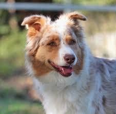 australian shepherd 8 wochen trulyawesome australian shepherds home facebook